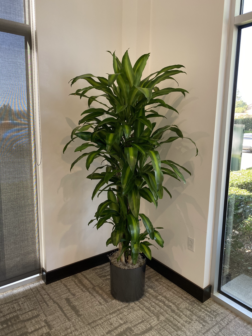 single dracaena 4 feet .JPEG.HEIC