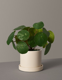 Pilea Peperomioides Variant Small Hyde