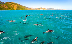 Dolphin group jumping swimming in ocean.