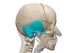 側頭骨.png