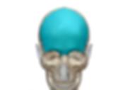 前頭骨png.png
