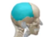 前頭骨.png