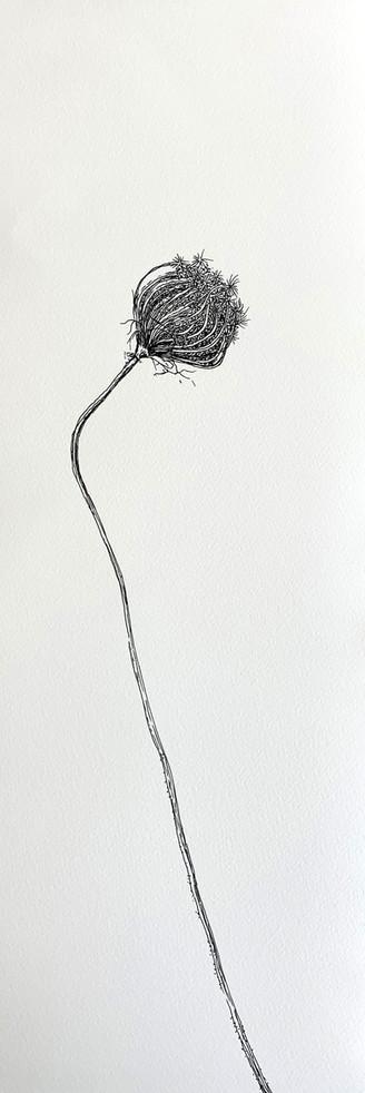 Dry Wild Carrot 5 (Pen on Arche Paper 27X75 cm)