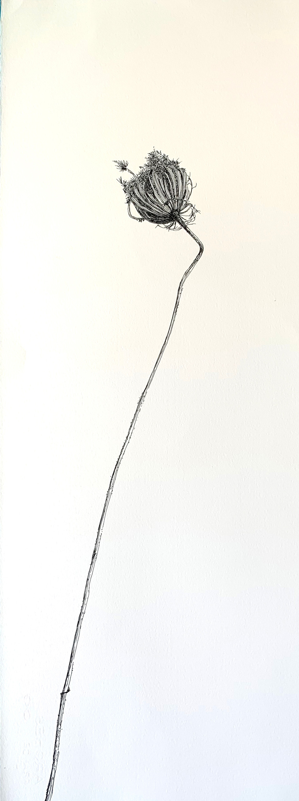 Dry Wild Carrot 17 (Pen on Arche Paper 27X75 cm)
