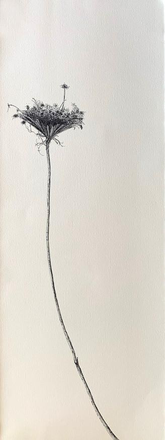 Dry Wild Carrot 6 (Pen on Arche Paper 27X75 cm)