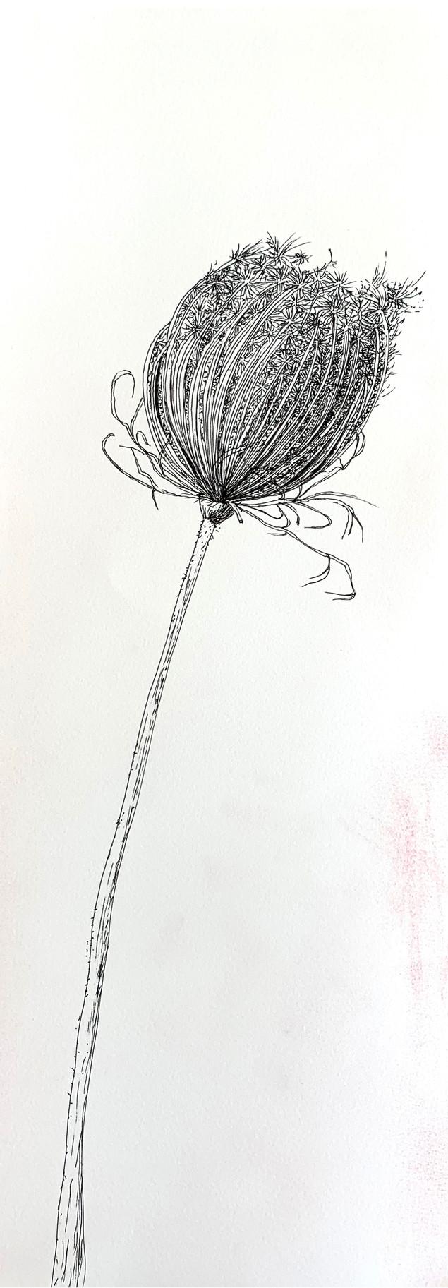 Dry Wild Carrot 3 (Pen on Arche Paper 19X53 cm)