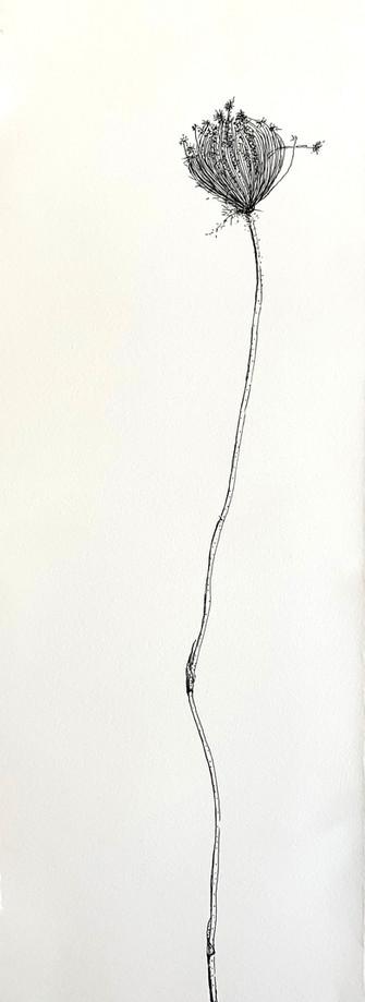 Dry Wild Carrot 2 (Pen on Arche Paper 19X53 cm)