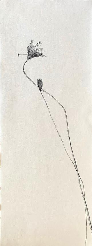 Dry Wild Carrot 8 (Pen on Arche Paper 27X75 cm)