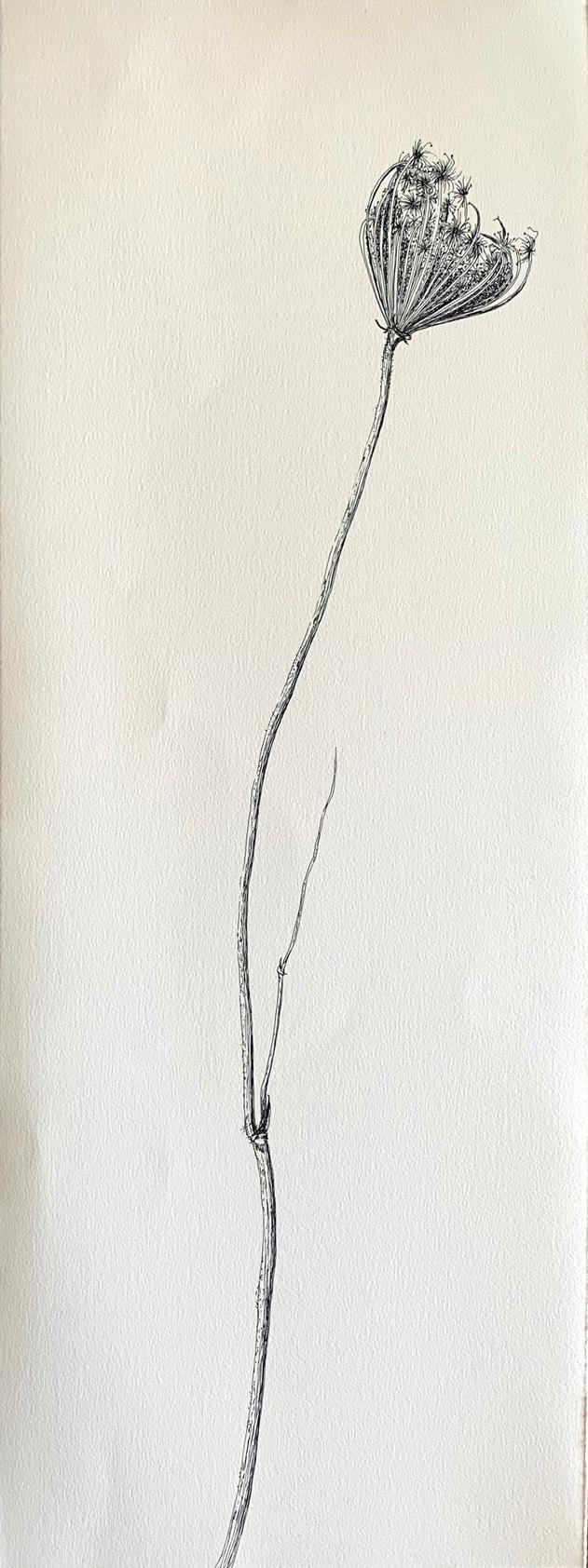 Dry Wild Carrot 10 (Pen on Arche Paper 27X75 cm)
