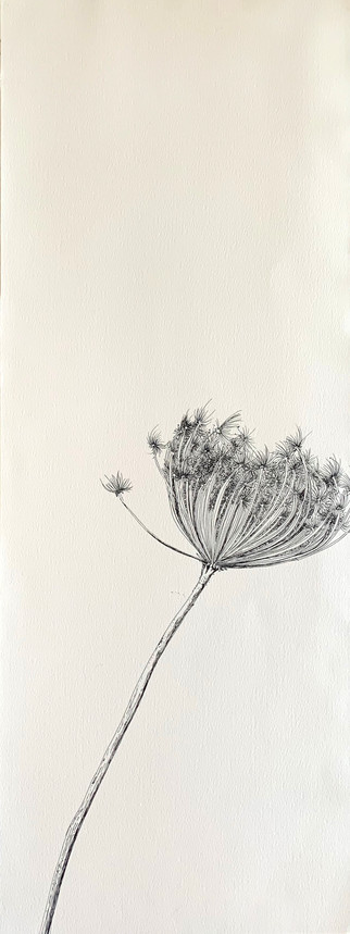 Dry Wild Carrot 11 (Pen on Arche Paper 27X75 cm)