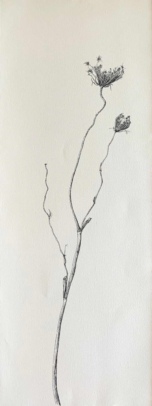 Dry Wild Carrot 7 (Pen on Arche Paper 27X75 cm)