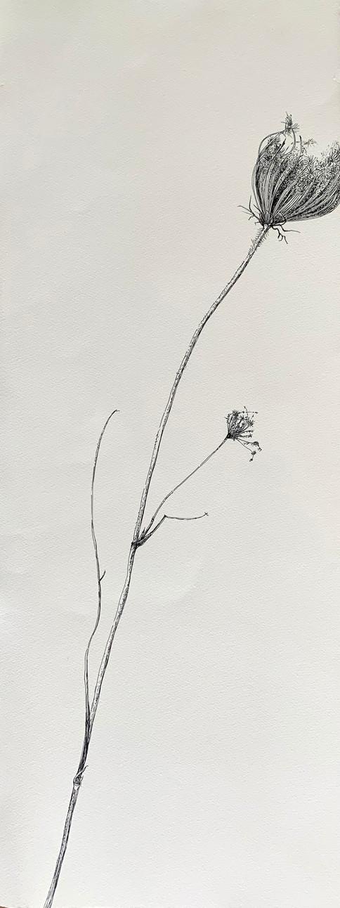Dry Wild Carrot 13 (Pen on Arche Paper 27X75 cm)