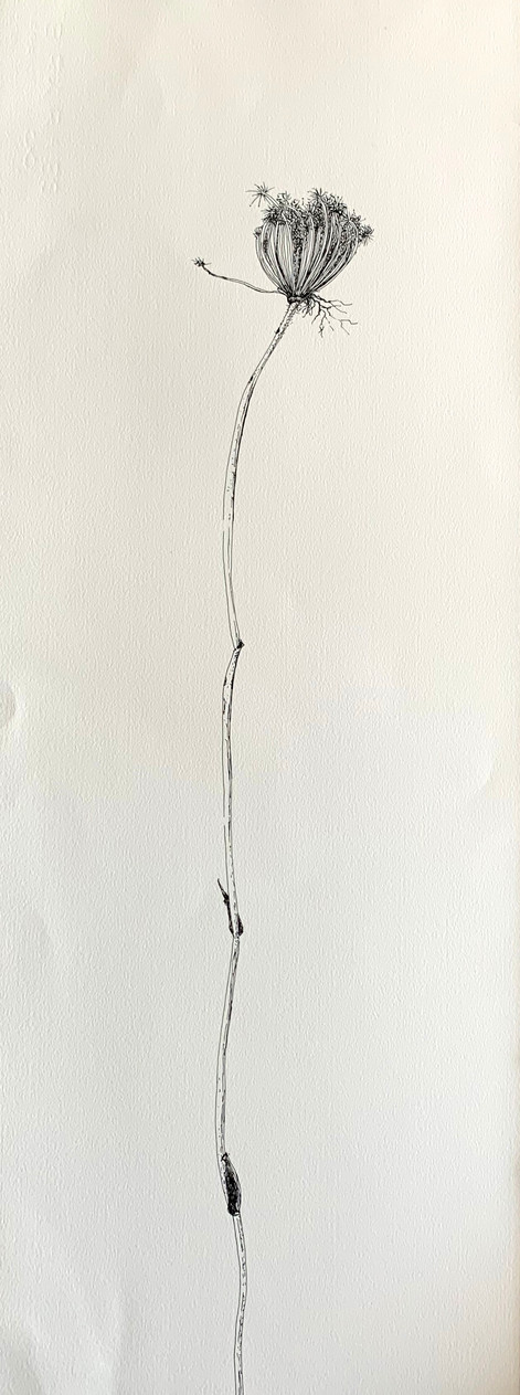 Dry Wild Carrot 15 (Pen on Arche Paper 27X75 cm)