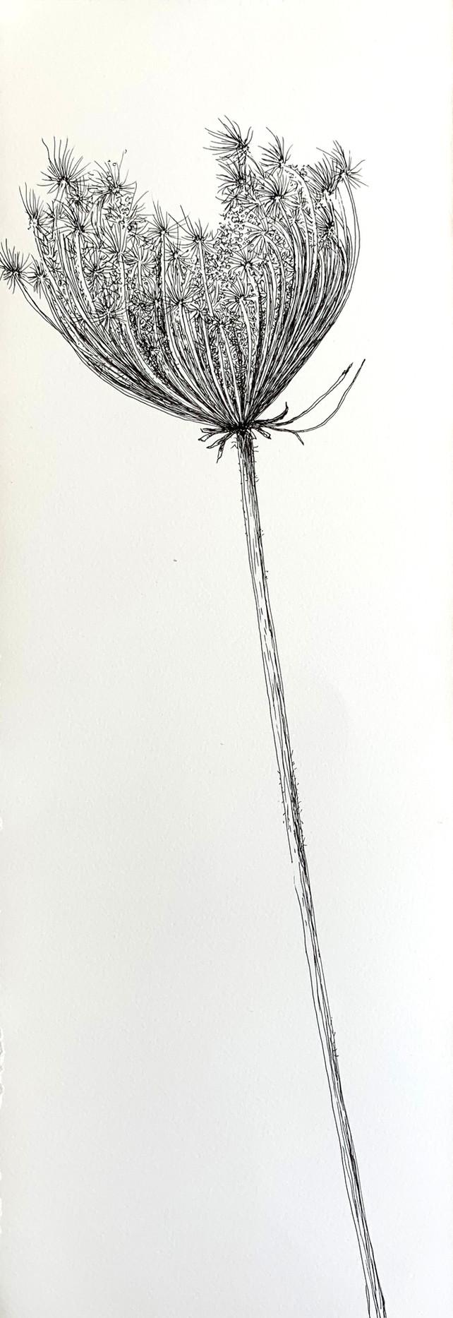 Dry Wild Carrot 4 (Pen on Arche Paper 19X53 cm)