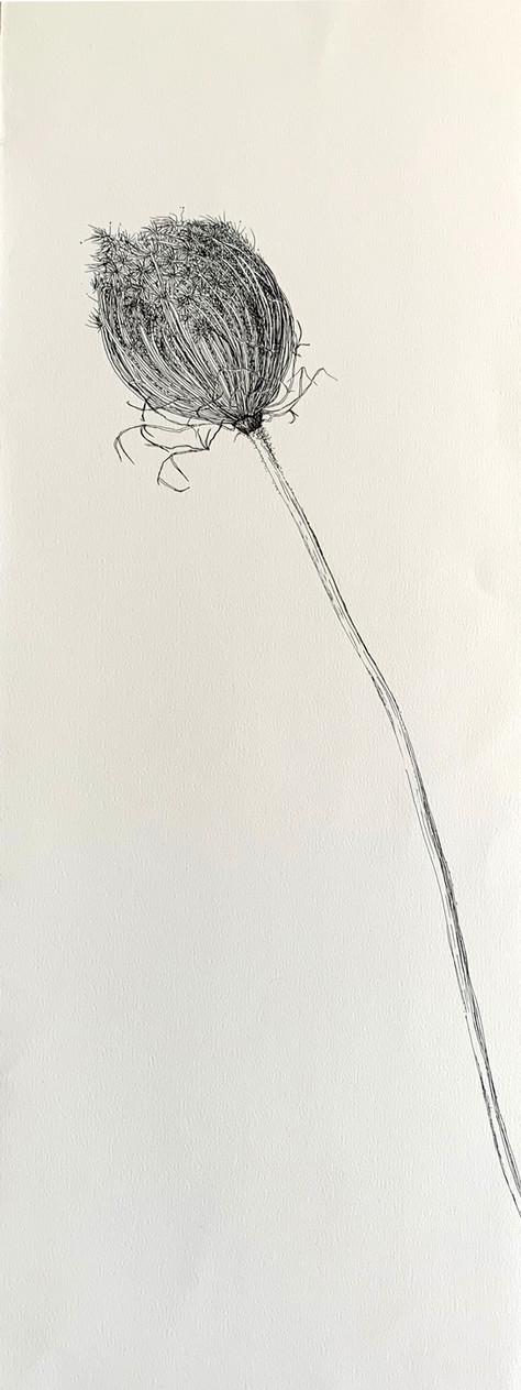 Dry Wild Carrot 16 (Pen on Arche Paper 27X75 cm)