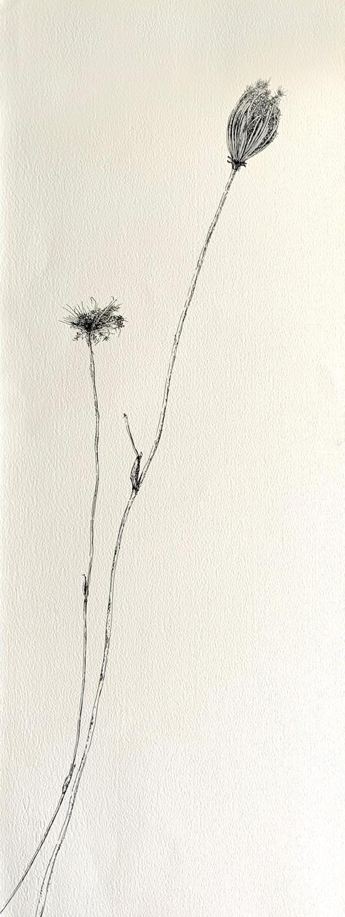 Dry Wild Carrot 14 (Pen on Arche Paper 27X75 cm)