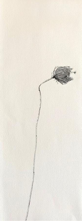 Dry Wild Carrot 1 (Pen on Arche Paper 19X53 cm)