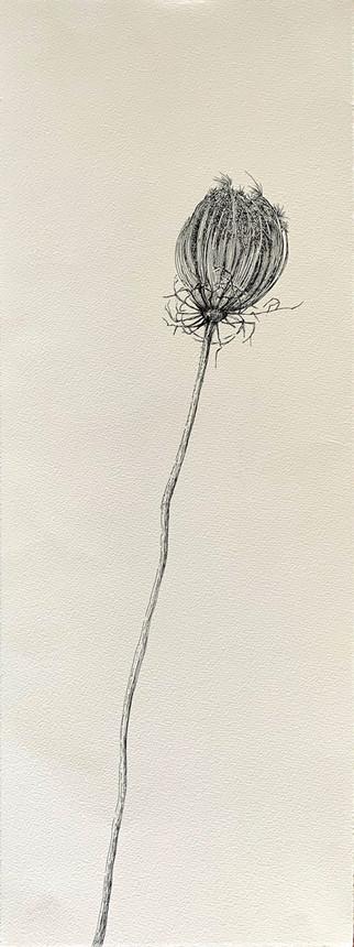 Dry Wild Carrot 12 (Pen on Arche Paper 27X75 cm)