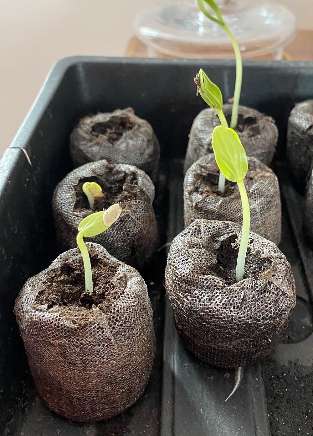 Plant de haricots nain