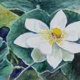 'Waterlily'