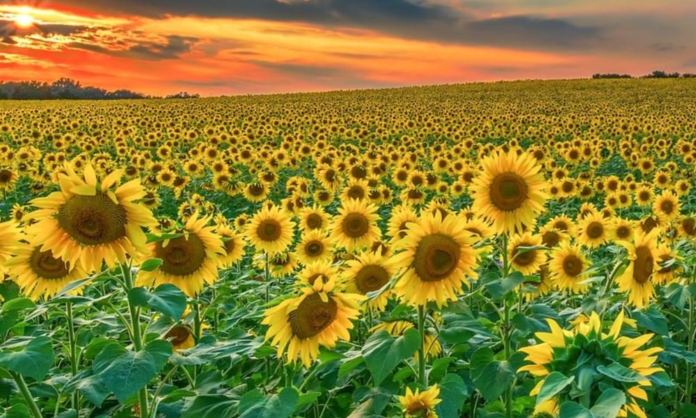 Sunflower Fields, Kansas Birthday Rockhill Real Estate Group