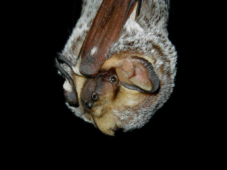 New study models decline in hoary bats using NABat monitoring data