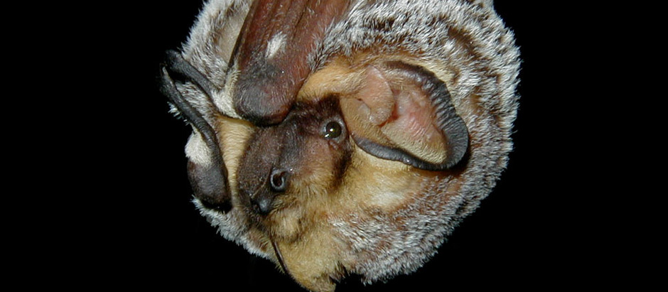 New study models decline in hoary bats using NABat monitoring data