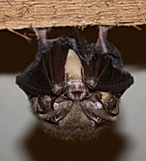 townsend bat -cropped. California Pines