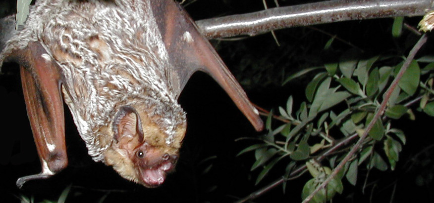 NREL Explores Options for Long Term Monitoring of Migratory Tree-Roosting Bats