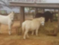 saint-bruno, cheval béziers, poney béziers, équitation, centre equestre béziers, pension, ecurie de propriétaire