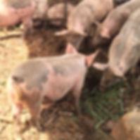 LOCAL PORK, OAHU, HAWAII, PORK, pork BUTCHER, hawaii butcher, hawaiian butcher, hawaiian pork, hawaii pork, oahu pork, oahu pigs, pigs oahu, pigs hawaii, hawaii pigs, hawaii pig, fresh pig hawaii, fresh pork hawaii, hawaii luau pork, kalua pig, hawaiian food, local food hawaii