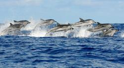 Mediterranean Dolphins