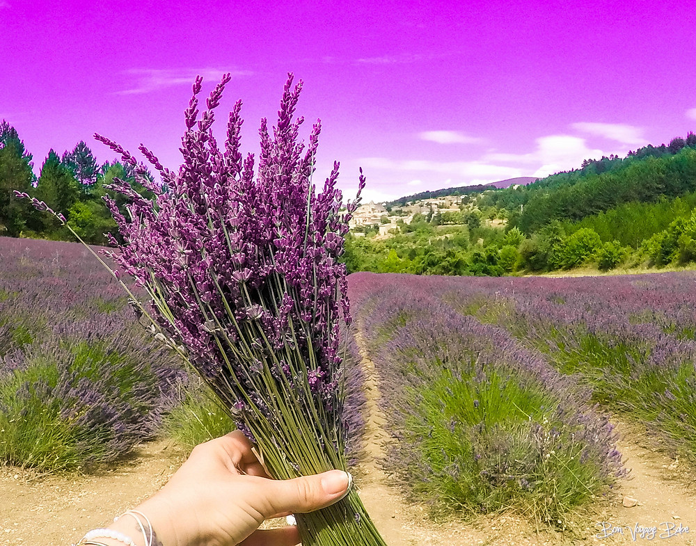 Tips to Visit Lavender Fields in France