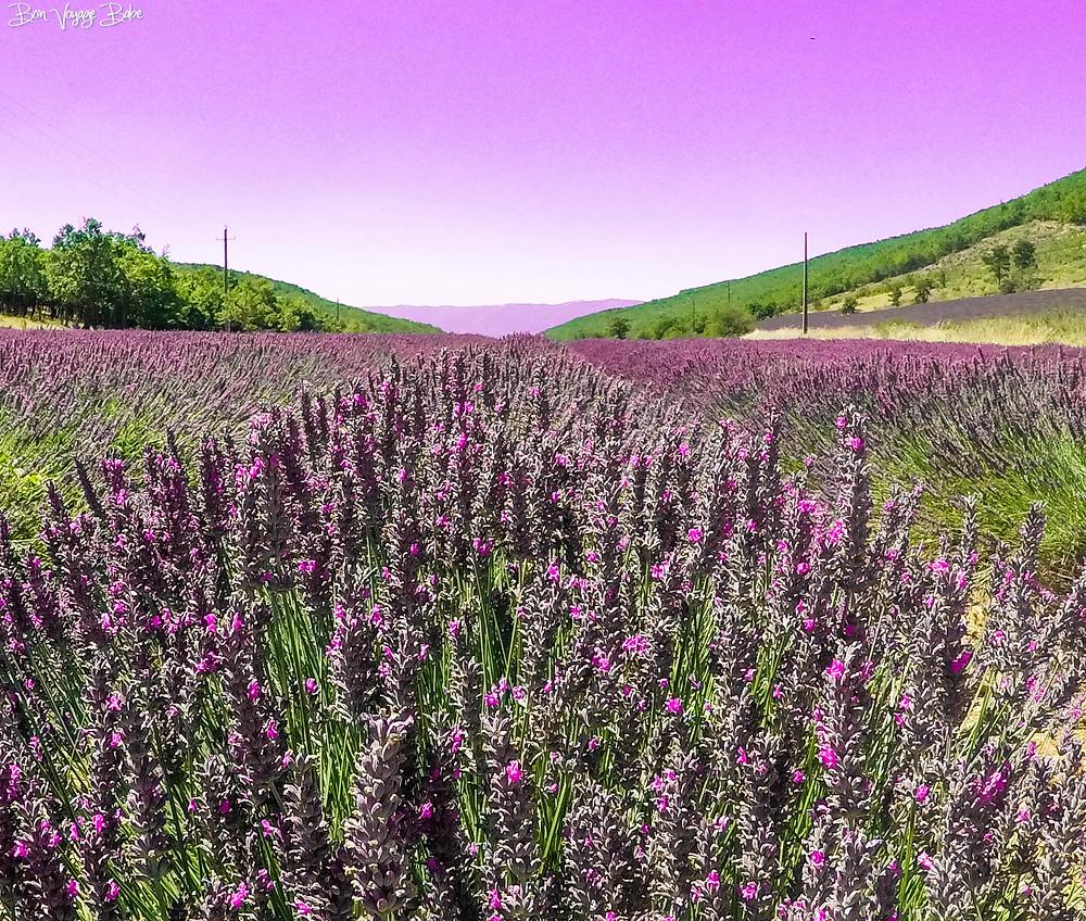 Sault Lavender Fields