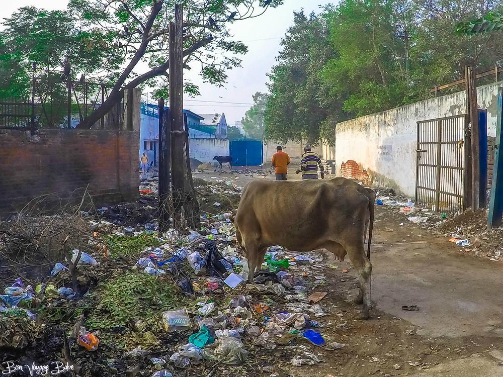 Delhi Cows