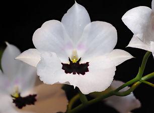 Miltonopsis Lillian Nakamoto 'Tanto' - Y