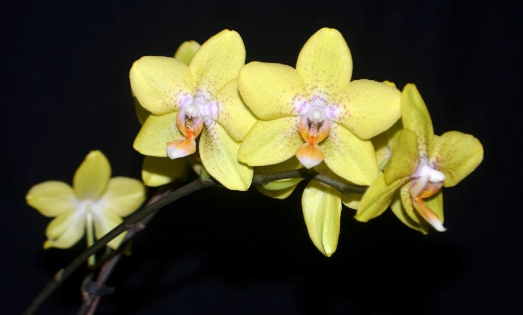 Phal. Golden Treasure
