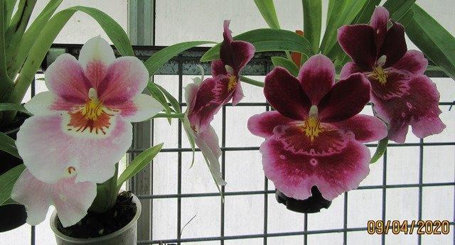 Miltoniospsis