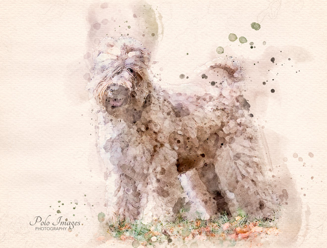 Irish Wheaten Terrier.jpg
