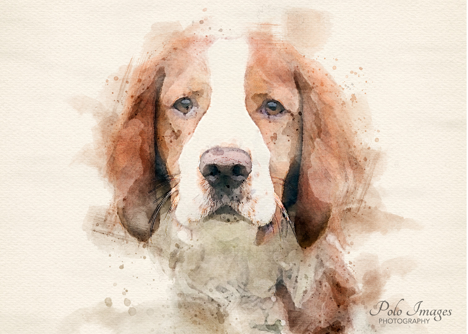 Welsh Springer.jpg