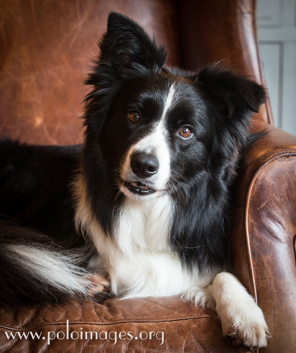 Border Collie Figaro