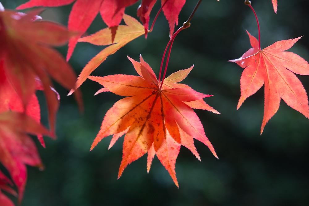Autumn colour, acer