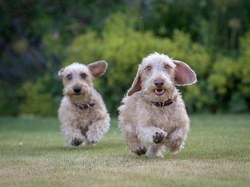 Wire haired dachshund puppies
