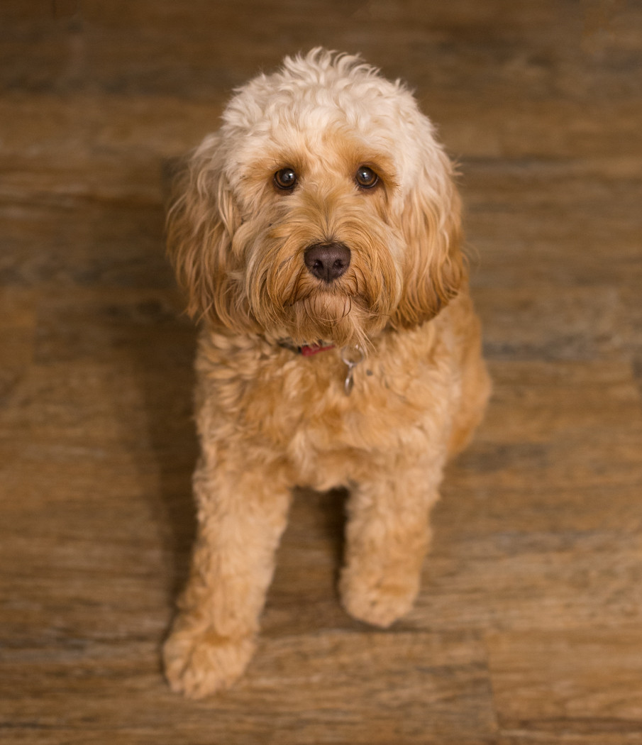 Cockapoo Poppy