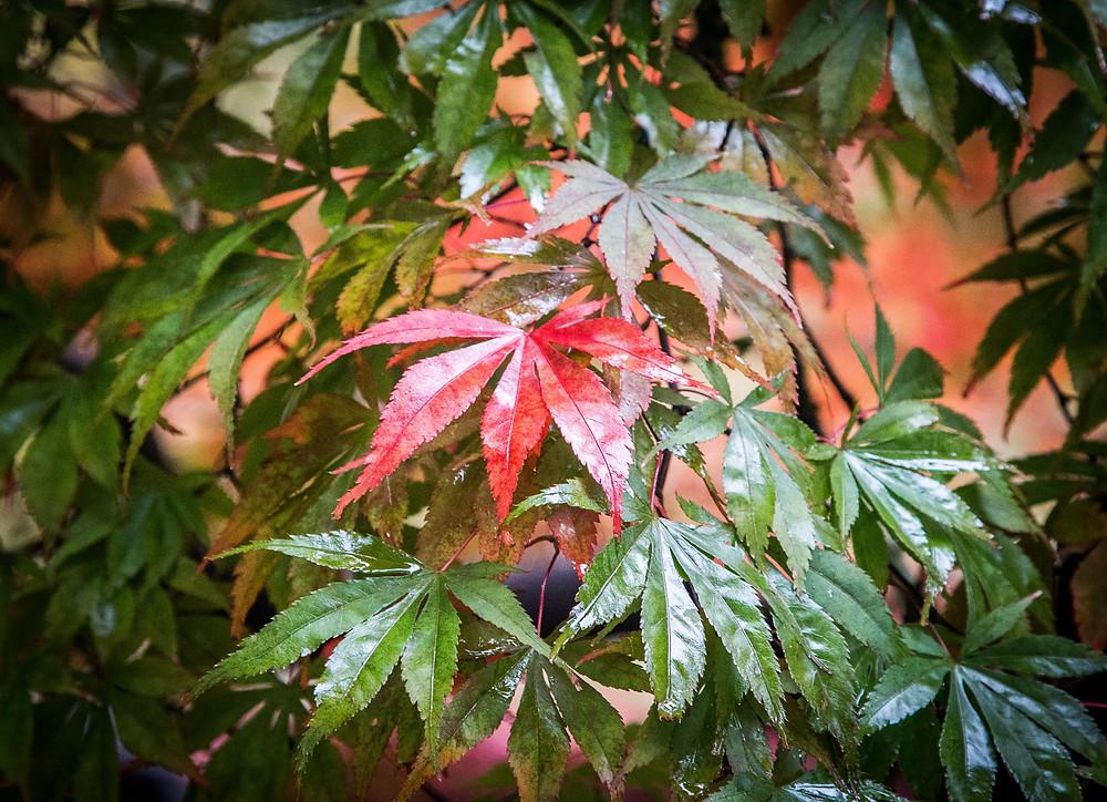 Maple leaves autumn colours