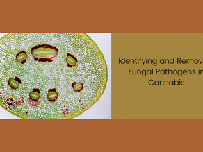 Identifying and Removing Fungal Pathogens in Cannabis