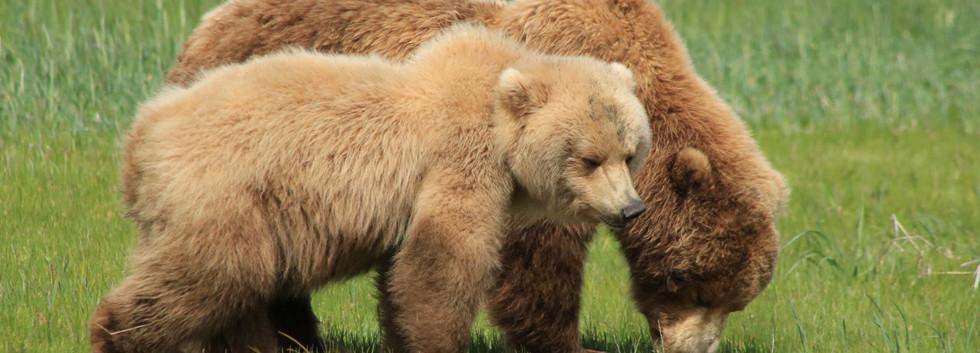 mom and cub grazing small.jpg