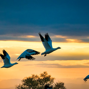San Luis Snow Geese in Flight
