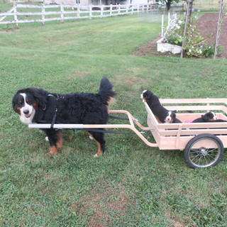 Rufy with cart and puppies.JPG