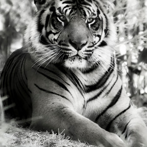 The Tigers Eyes